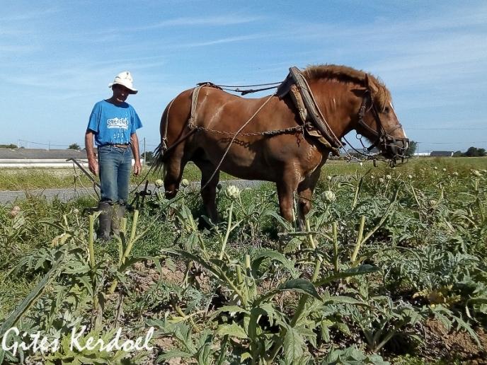 Sarclage des artichauts dans le champ à côté des gites kerdoel