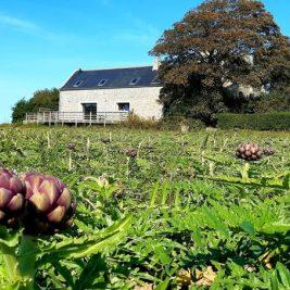 champs d'artichauts